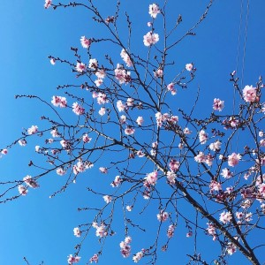 【花咲くアーモンドの木の枝|守山区志段味美容室ツムギヘアー】